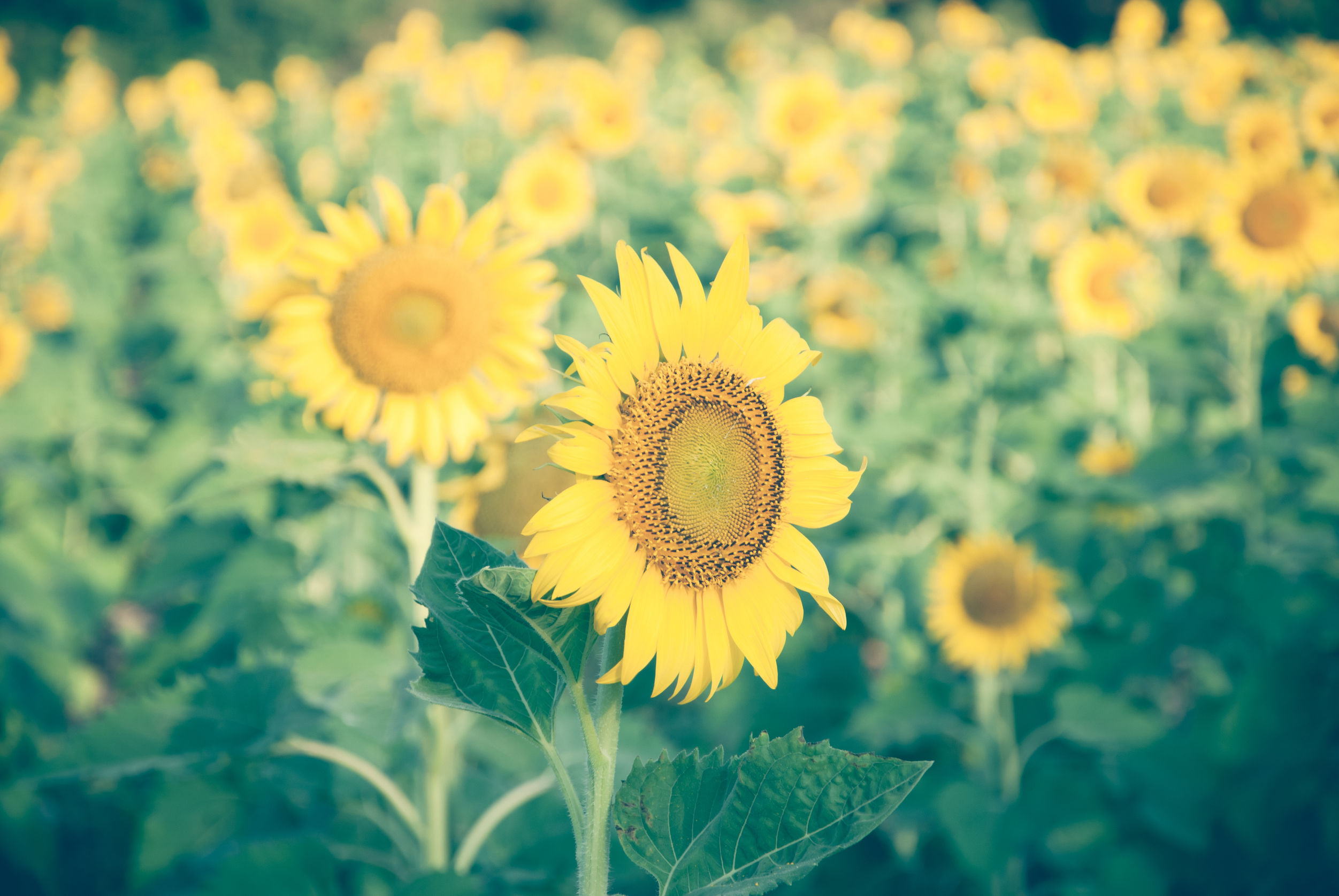 36599142 - sunflowers